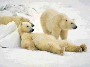 isbjørner slapper av